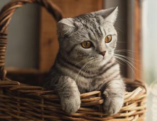 Шотландская кошка сидит в корзине.