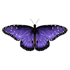 butterfly top view of symmetrical purple-stained , sketch vector graphics color picture