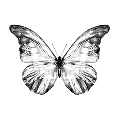 butterfly with spots on the wings of the symmetric top view sketch vector graphics black and white drawing