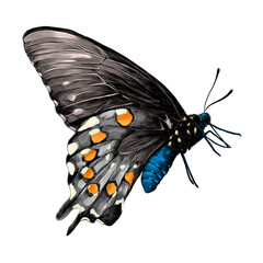 butterfly with a blue body,grey wings and orange patches on the wings side view, sketch vector graphics color picture
