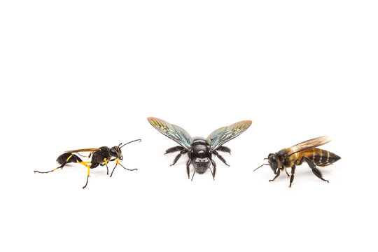 Ceriana wasp, Xylocopa latipes, bee on white background