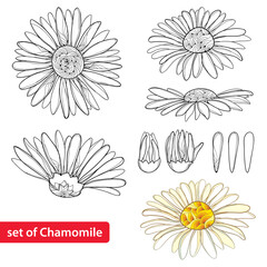 Vector set with outline Chamomile flowers, bud and petal isolated on white background. Ornate Chamomiles in contour style for summer design, herbal cosmetics, aromatherapy, homeopathy, coloring book.
