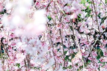 image of Sakura flowers season in tokyo japan