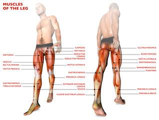 Muscoli delle gambe, corpo umano, anatomia, sistema muscolare, persona anatomia. 3d rendering