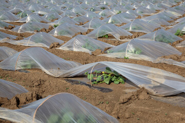 Field of watermelon and melon plants under small protective plastic greenhouses