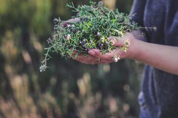 Fototapeta  Keep thyme in hand (harvest) obraz
