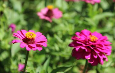Zinnia flower(Zinnia violacea Cav.) in the garden.