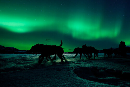 Yukon sled dog team pulling under northern lights