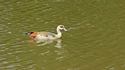 Nilgans (Alopochen aegyptiaca) im Wasser