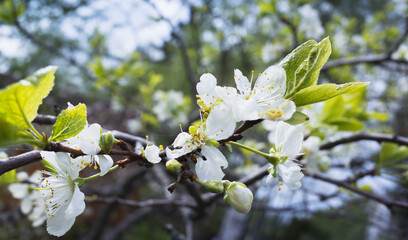 Wall Mural - Apple in bloom. Tree branch with white flowers