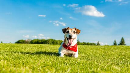 Playful pet Jack russel terrier lying on green grass. Summer active leisure moments