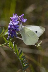 Cabbage white butterfly foraging in tufted vetch flowers. Isolated on a blurry background.