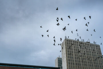 Many city pigeons flying across a dark sky with office buildings below.