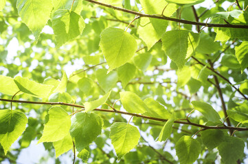Spring background with bright green leaves of birch opposite the bright sun. Soft focus.