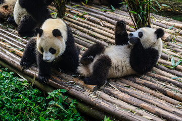 Photo sur Aluminium Panda Pandas enjoying their bamboo breakfast in Chengdu Research Base, China