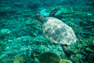 A turtle sitting at corals under water surface