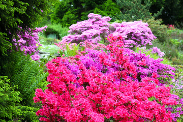 Papiers peints Azalea Colorful flowering bushed in the park