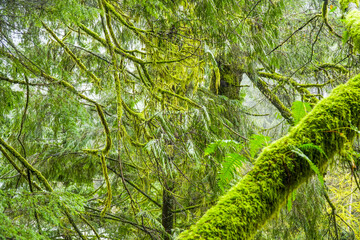 Beautiful green nature - mossy trees in the woods