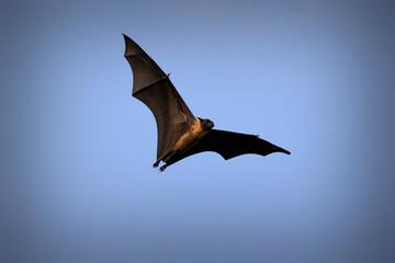 Flying fox, huge bat on Ukulhas, Maldives