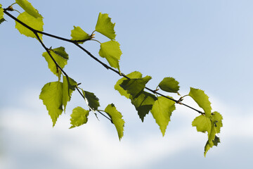 Birch branch with new leaves against sky background