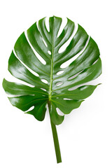 fresh tropical monstera philodendron leaf - rain forest or jungle design element
