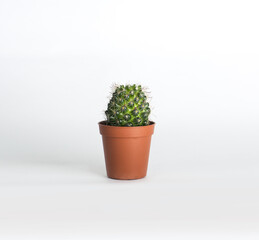 green cactus In a pot on a white background isolated