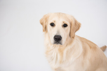 The dog golden retriever is looking in camera over white