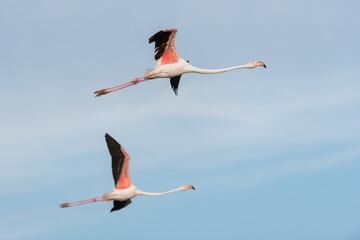 Foto op Aluminium Flamingo Rosaflamingo, Greater flamingo, Phoenicopterus roseus