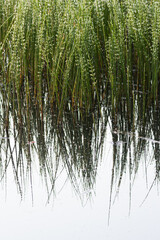 pond reed reflections