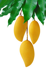 Mangoes hanging on fruit bunch with green leaf, isolated white background.