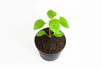 Little tree in plastic pots on white background