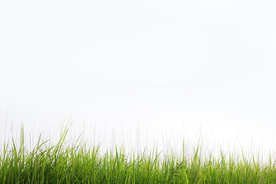 reeds grass isolated on white background