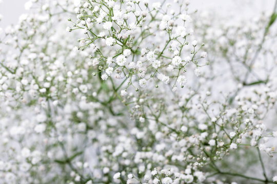 Baby's breath (gypsophilia paniculata) flower on white background.