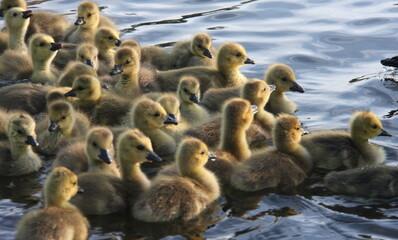 baby geese II