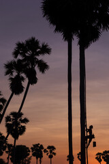 Silhouette of Farmer climbing on Sugar palm tree to collection of sugar syrup.