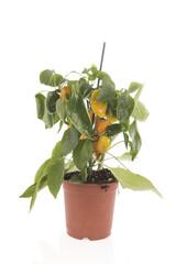 Yellow paprika plant