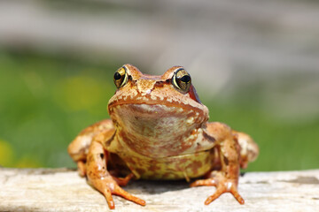 close up of european common frog