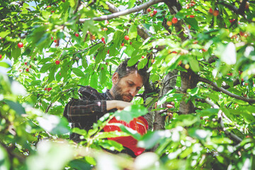 man in tree harvesting red cherry