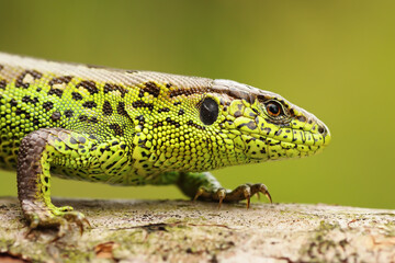 close up of male sand lizard