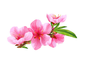 Flowers of peach. Vector.