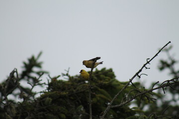 A couple yellow Goldfinch standing on top of a small tree.