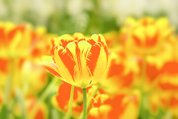 Tulip, natural ground view