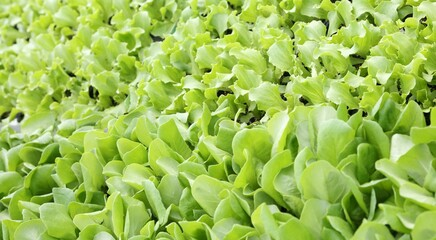 background of leaves of tender fresh lettuce on sale in the farm