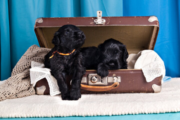 Two puppies of breed Black Russian Terrier in the old vintage suitcase