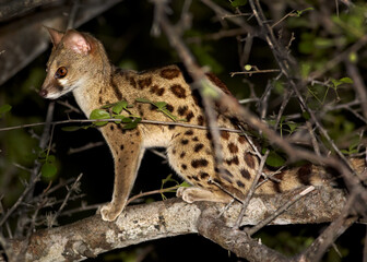 Close up photo of nocturnal, small carnivoran, South African Large-spotted Genet, Genetta tigrina, sitting on branch at night. Saadani, Tanzania.