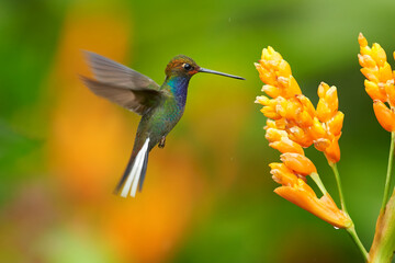 Green hummingbird with sparkling blue throat, White-tailed Hillstar, Urochroa bougueri hovering next to orange flower in rainy day against colorful, blurred, green and orange background. Colombia.
