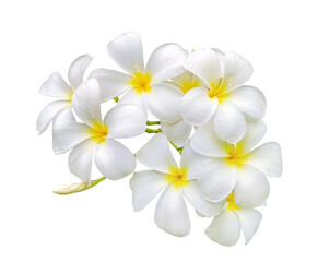 white frangipani (plumeria) flower with water drops isolated on white background
