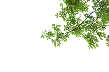 Wall Mural - branch of green leaf isolated on white background with copy space for backround, concept for spring summer