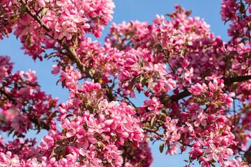 Flowering Crabapple tree in the spring