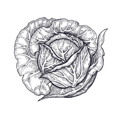 Cabbage. Hand drawing of vegetables. Vector art illustration. Isolated image of black ink on white background. Vintage engraving. Kitchen design for decoration recipes, menus, sign shops and markets